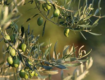 Olive oil – your skin's friend or foe?